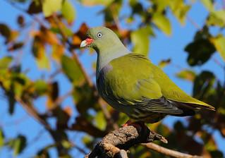 Pombo-verde-africano / African green-pigeon