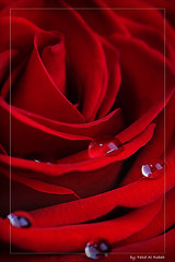 (Fahad Al-Robah) Tags: flower rose