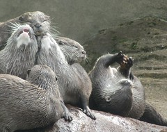 Life is good for otters. (Pics_by_L) Tags: juggling otters londonzoo