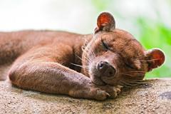 [フリー画像] 動物, 哺乳類, フォッサ, 寝顔・寝ている, 201109121100