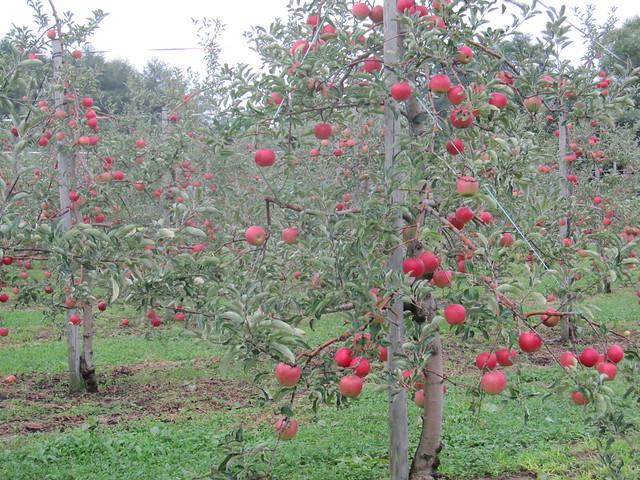 Apples on Sep. 10, 2011_1