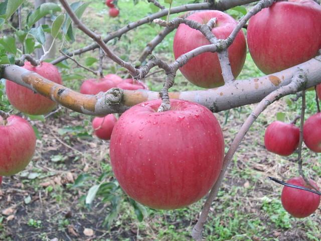 Apples on Sep. 10, 2011_2