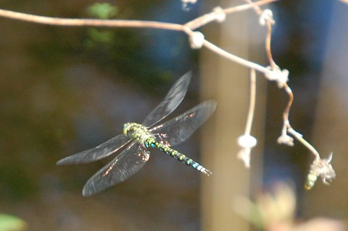 dragonflybluegreen