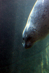 Harbor Seal underwater (artlessfun) Tags: oregon harborseal oregoncoastaquarium img6524 artlessfun canoneosrebelt3i