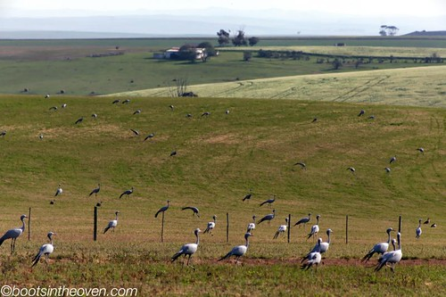 Field of Blue Cranes!