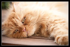 reaching out..... (filippo.salamone) Tags: nikon matteo gatto gatti persiano salamone d90 nikond90 filipposalamone filipposalamoneymailcom