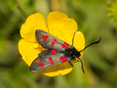 6 spot burnet moth on buttercup