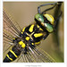 Golden-ringed Dragonfly ♂
