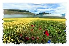 Castelluccio (Gianluca1974) Tags: flowers colors grass yellow landscape country giallo poppy fiori colori prato paesaggio lentils papaveri castelluccio paese lenticchie