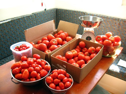 Tomato heaven: about 50 lbs, all free, not one bought