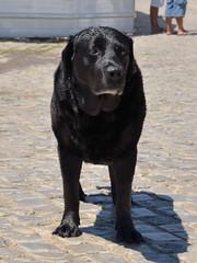 Cacela Velha, Ria Formosa, Algarve (Carlos Pinto 73) Tags: labrador retriever velha cao algarve formosa ria cadela cacela