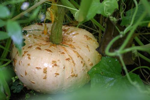 pumpkins 034