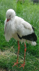 White Stork (biancamagalhaes) Tags: canada calgary animal zoo