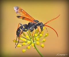 Hymenopter - 90 (Pep Companyó - Barraló) Tags: macro fauna natura insecte josep hymenopter companyo barralo bgarralo