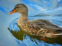 DSCN0141 (lordnoize) Tags: lake pond cumbria tarn carlisle talkin brampton talkintarn