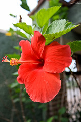obelisco (Nezz silva) Tags: y hibiscus gineceo androceo