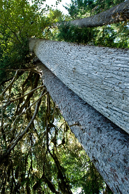 hoh_trees