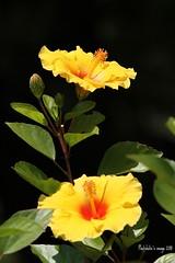 Yellow Hibiscus (photoholic image) Tags: light summer sunlight plant flower nature canon petal hibiscus ef70200mmf28lisusm eos7d canoneos7d