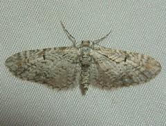 Eupithecia graefii (fire22kolar) Tags: light macro night bug insect washington moth geometridae sheet trap eupitheciagraefii pugmoth