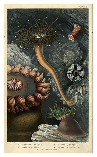 002-Actinologia Britannica… 1860- Philip Henry Gosse