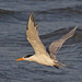 Lesser Crested Tern - Photo (c) Jerry Oldenettel, some rights reserved (CC BY-NC-SA)