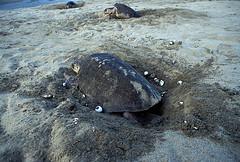Tortuga marina (AB657_129).jpg (Alejandro Boneta) Tags: 2005 horizontal fauna 35mm playa arena oaxaca analoga tortuga huevo diapositiva reptil hoyo reproduccion cavar tortugamarina cascaron desovar playaescobilla