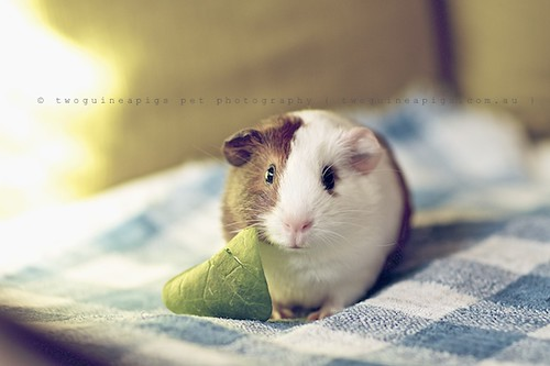 Gertie, guinea pig Gertrude's portrait by twoguineapigs pet photography