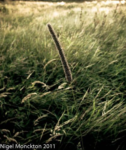 1000/537: 22 August 2011: Sunset grass by nmonckton