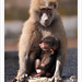 Hamadryas Baboon Mother and Baby