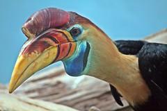 IMG_1888 1 (Sujit Mahapatra) Tags: nyc ny newyork bird public animal canon zoo bronx beak bronxzoo rhinoceros hornbill rhinoceroshornbill instantfave sujitphotography aug2011 07aug2011