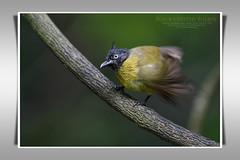 Black-crested Bulbul/นกปรอดเหลืองหัวจุก