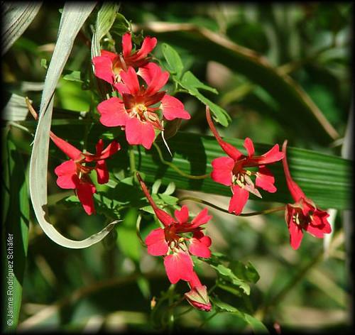 Rama florida de Martillo de carpintero (<i>Tropaeolum speciosum</i>) con sus flores de pétalos rojos de base amarilla y su característico espolón inclinado.