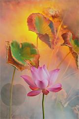 Lotus Flower - IMG_5360-800 (Bahman Farzad) Tags: pink flower macro yoga peace lotus relaxing peaceful meditation therapy lotusflower lotuspetal lotuspetals lotusflowerpetals lotusflowerpetal