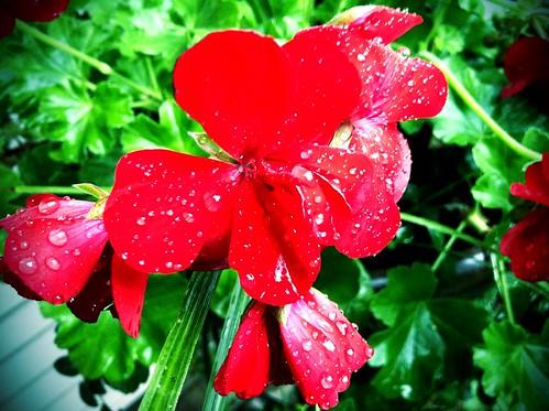 [248/365] Rainy Day Flowers by goaliej54