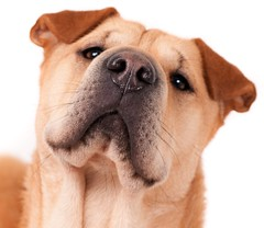 Nosy! (edwindejongh) Tags: dog chien closeup nose focus close serious whitebackground hund smell sniff sniffing nez casting oren nosy neus smelling semmy serieus ernstig ruiken animalhandling edwindejongh dierenfotografie catvertise sabinevanderhelm catsandpetspictures