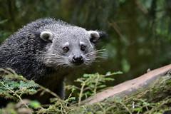 Beermarter (Tim Sträter) Tags: bearcat epe binturong asianbearcat arctictisbinturong dierenpark wissel beermarter palawanbearcat marderbär bintoerong