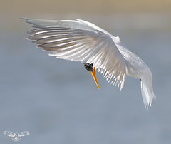 Elegant Tern [Explored best position #329] (bmse) Tags: canon fly flying wings chica flight 7d elegant bolsa tern span 56 hovering hover salah elegans 400mm sterna sternaelegans thalasseuselegans bmse baazizi