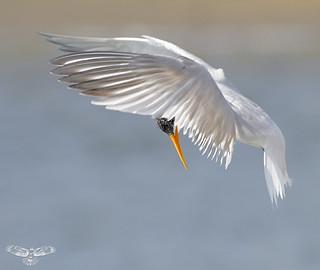 Elegant Tern [Explored best position #329]
