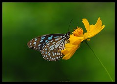 Here comes the blue tiger :-) (Venu Dharmaji (a bit busy...)) Tags: blue india flower green yellow nikon bokeh butterflies hyderabad hpc apps osmania nikond60 bluetiger sigma70300mmapodgmacro osmanialandscapegarden teamhws thecch