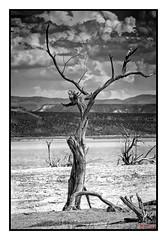 On the flats (jbarc in BC) Tags: summer arizona bw lake tree clouds dead flat roosevelt flats theordore neroamet blinkagain