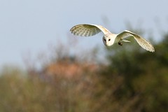 Barn Owl (midlander1231) Tags: nature birds wildlife norfolk birdsinflight britishwildlife barnowl cley cleynextthesea britishbirds