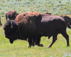 Bison Bull -Lamar Valley, Yellowstone National Park (danjdavis) Tags: buffalo wildlife bull yellowstonenationalpark yellowstone wyoming bison lamarvalley