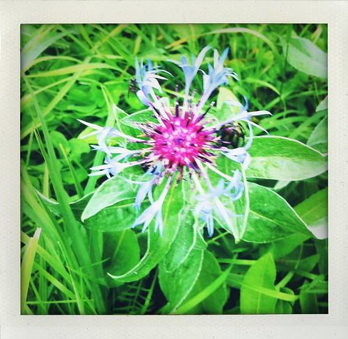 I fiori a Prali