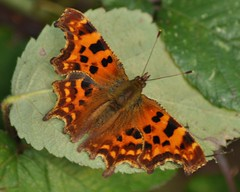 Comma Butterfly (Nymphalis c-album) (marmendy mill) Tags: macro green closeup butterfly photo leaf nikon lepidoptera essex comma rochford nymphalidae nymphalis calbum fantasticnature