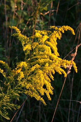 Goldenrod1Sept2011