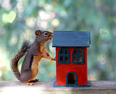 Home Is Where the Heart Is (Peggy Collins) Tags: house canada love squirrel heart bokeh britishcolumbia redhouse pacificnorthwest curious penderharbour tipsy sunshinecoast curiousity backdeck homeiswheretheheartis douglassquirrel heartbokeh peggycollins funnysquirrelpictures cutesquirrelpicture