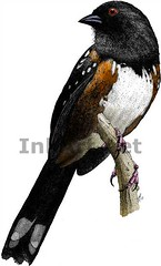 Spotted Towhee (Roger D Hall) Tags: bird art animal illustration drawing wildlife spotted songbird towhee pipilo maculatus