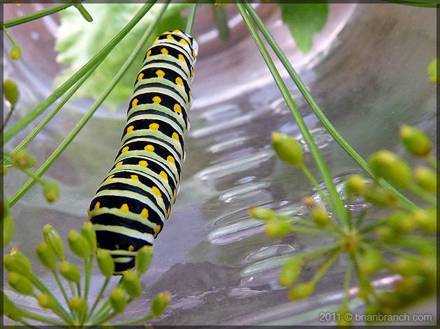 P1190126_caterpillar