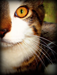 The Loki Eye (Sharilinne) Tags: eye cat nose kitty whiskers