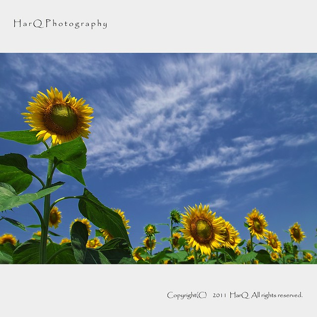 Sunflower and Blue sky *